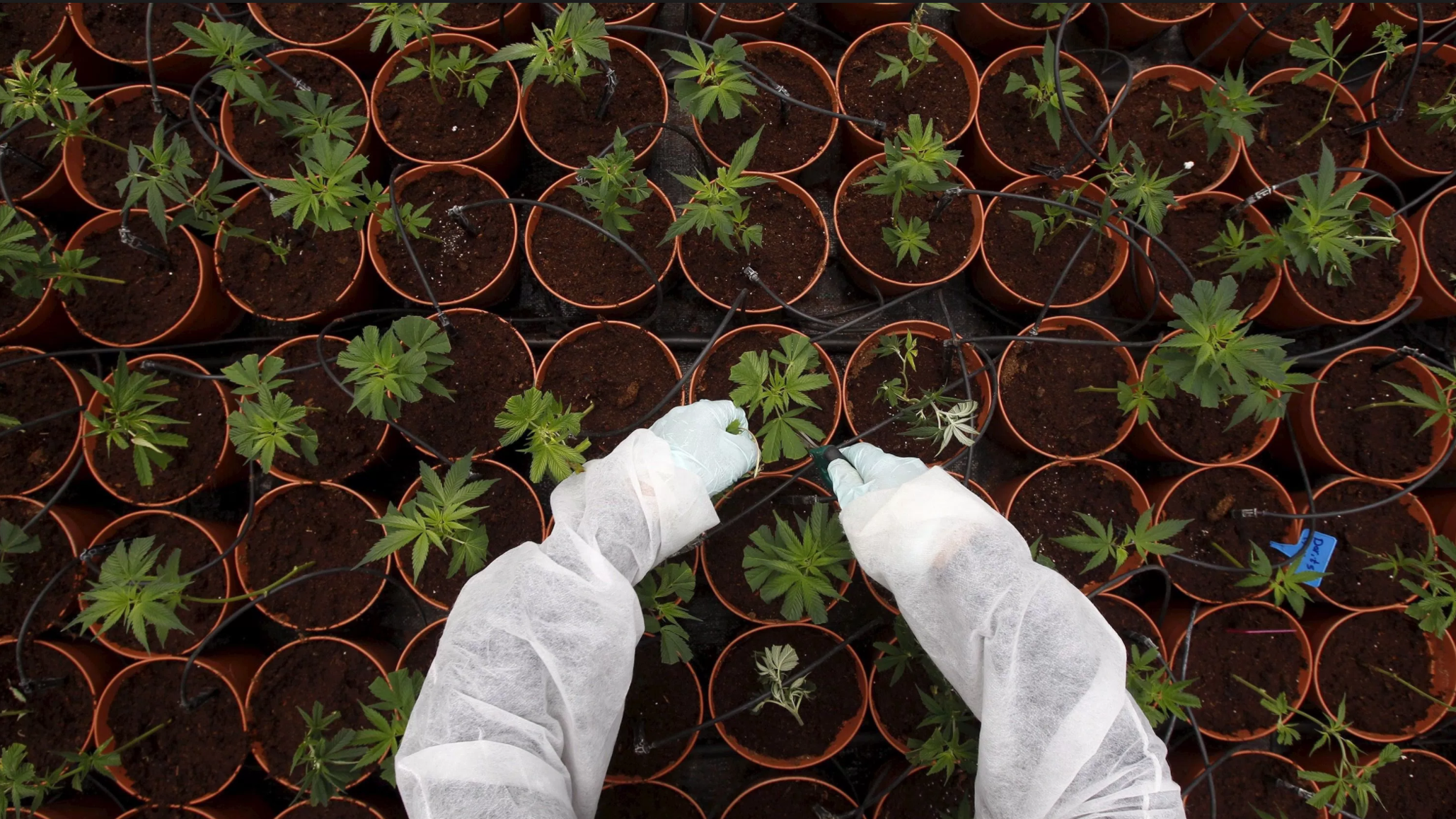 Dutch coalition testing controlled cannabis cultivation